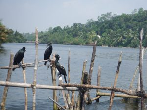 Birds in Madu River