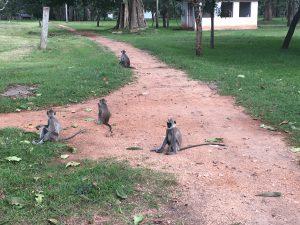 Monos de cara negra en Anuradhapura